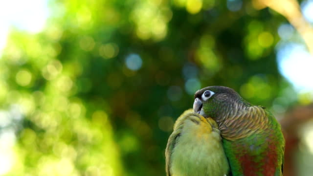 lovebird and green cheek conure - comportamento animale video stock e b–roll