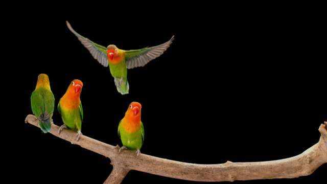 slo mo lovebird landing on a branch in a tight spot between the other parrots - cinque animali video stock e b–roll