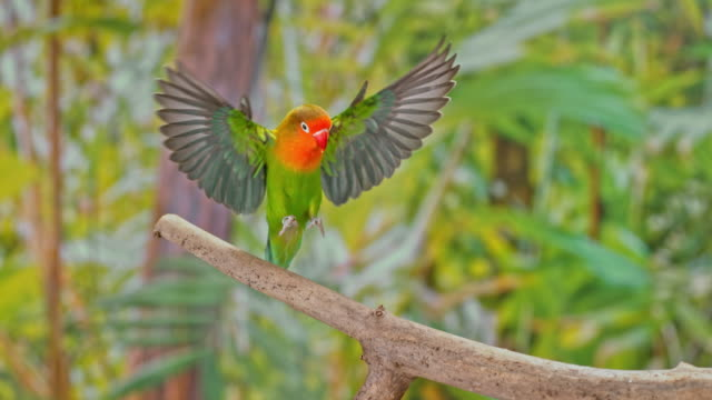 slo mo lovebird landing on a branch - parrot stock videos & royalty-free footage