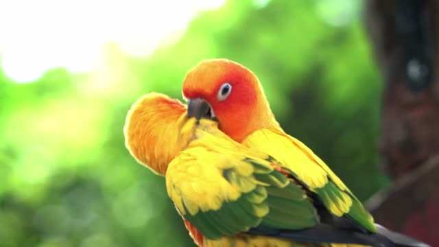 lovebird parrots sitting together, preening, find food, funny action in the natural world - wildlife stock videos & royalty-free footage