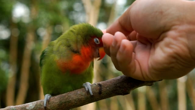 lovebird to cuddle - tame stock videos and b-roll footage