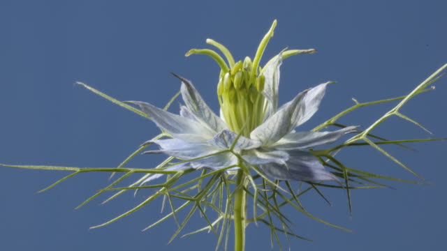 vídeos de stock e filmes b-roll de t/l love-in-a-mist (nigella damascena) flowering - hermafrodita