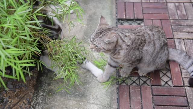 vidéos et rushes de un beau chat avec l'arbre en bambou argenté, thyrsostachys siamensis gamble, chats fot de plante de médecine naturelle - bamboo plant