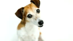 Lovely JAck Russell terrier dog listens attentively, curiously turns his head. White background. Video footage.