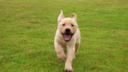 Lovely puppy Labrador running to the camera on the lawn, 4k