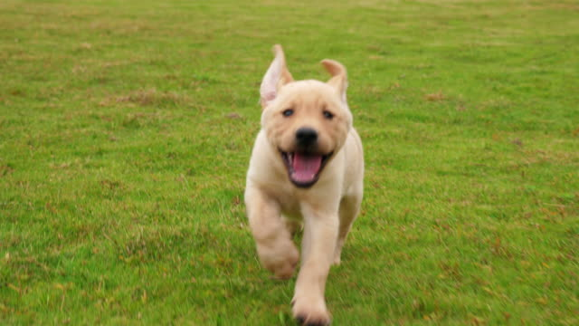 Precioso cachorro de Labrador que la cámara en el césped, 4k