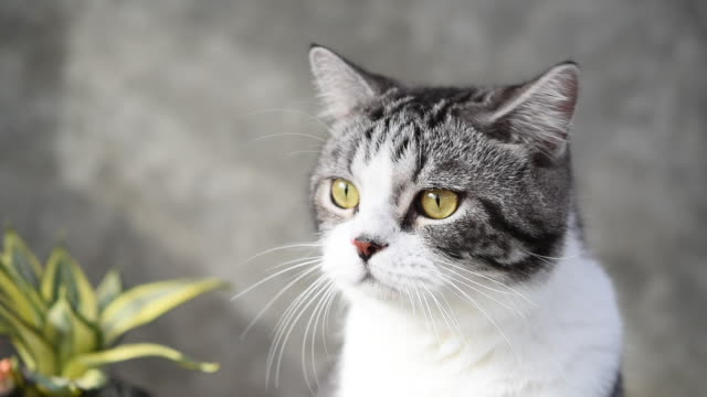 lovely tabby cat with beautiful yellow eyes lies on white floor and wall - claw stock videos & royalty-free footage