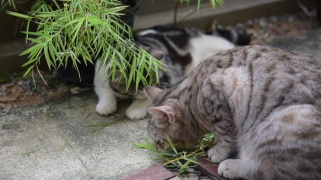 vidéos et rushes de une belle deux chats avec l'arbre en bambou argenté, thyrsostachys siamensis gamble, chats fot de plante de médecine naturelle - bamboo plant