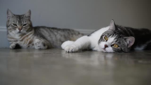 美しい黄色い目を持つ素敵な2匹のタビー猫が横たわって、部屋で遊ぶ - ショートヘア種の猫点の映像素材/bロール