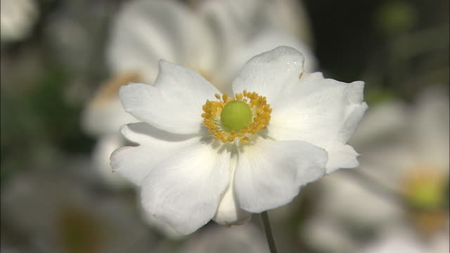 A lovely white Japanese anemone blooms in bright sunlight.