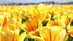 CLOSE UP: Lovely yellow and red blooming tulips swinging in soft spring wind