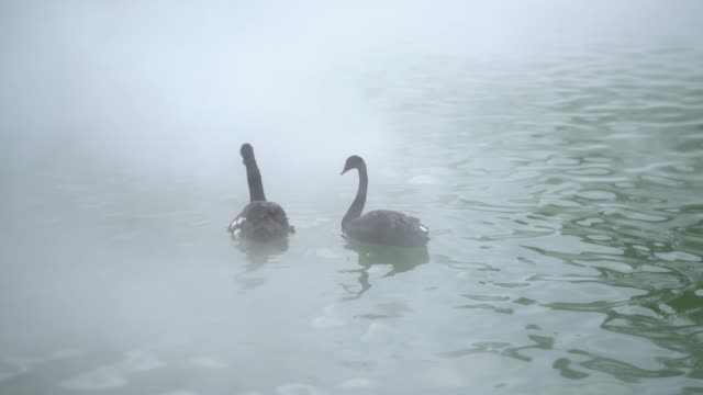a loving swan couple at lake - mute swan stock videos & royalty-free footage