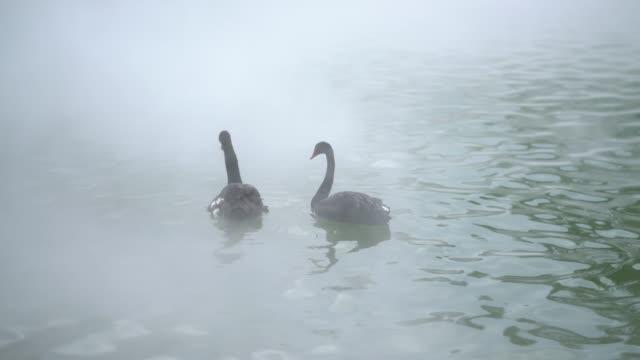 vídeos y material grabado en eventos de stock de una pareja de cisnes amorosos en el lago - cisne blanco común