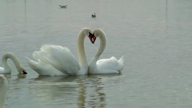 a loving swan couple at lake - cigno video stock e b–roll