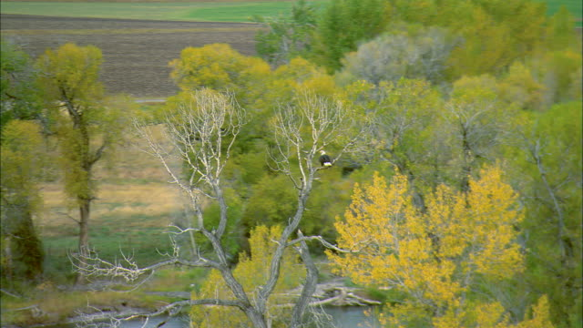 vídeos de stock, filmes e b-roll de low altitude aerial of a bald eagle landing in a tree on the gallatin river in autumn near bozeman, mt - bozeman