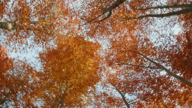 low angel view of beech trees at autumn - autumn leaf color stock videos & royalty-free footage
