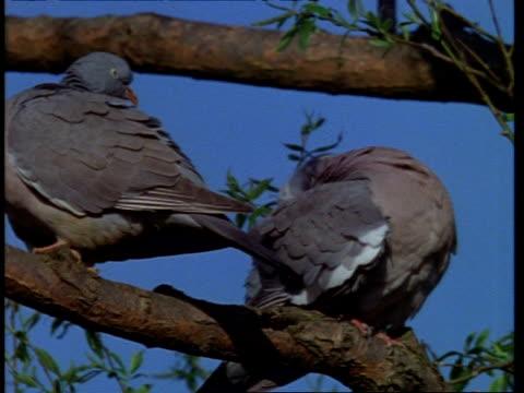 vídeos y material grabado en eventos de stock de mcu low angle, 2 wood pigeons preening on branch, england - comportamiento de animal