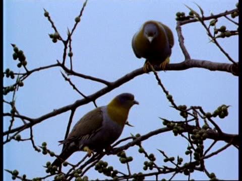 ms low angle 2 yellow-footed green pigeon in tree, india - perching stock videos & royalty-free footage