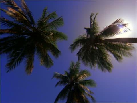 vidéos et rushes de low angle pan 3 palm trees / blue sky in background / brazil - angle de prise de vue