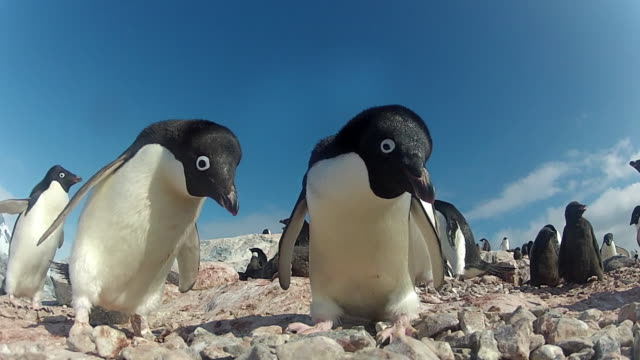 Low angle adelie penguins (Pygoscelis adeliae) at colony, Antarctica