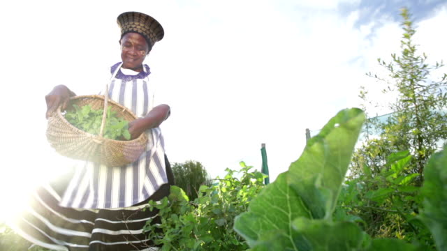 low angle african business woman harvesting herbs - africa stock videos & royalty-free footage