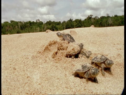 CU Low angle, Baby turtles emerging from sand, South America