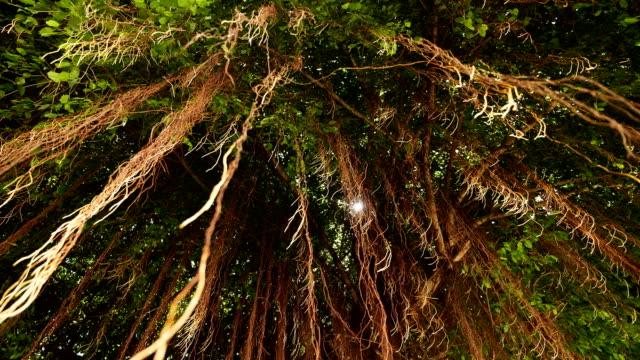 low angle : banyan tree root. - root stock videos and b-roll footage