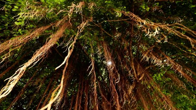 vídeos y material grabado en eventos de stock de ángulo bajo: raíz del árbol de banyan. - raíz