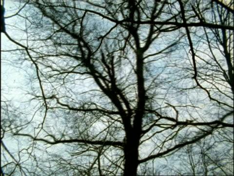 vidéos et rushes de ms low angle, bare tree falling, uk - bare tree