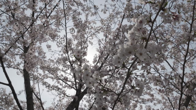 low angle, blooming cherry blossoms - satoyama scenery stock videos and b-roll footage