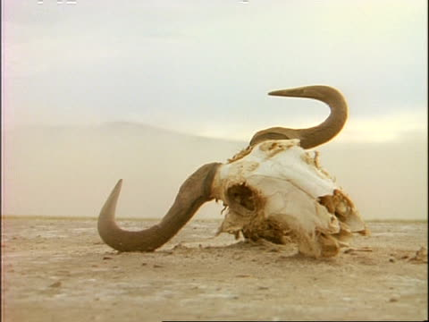 MS low angle, Bullock skull lying on desert ground, Kenya