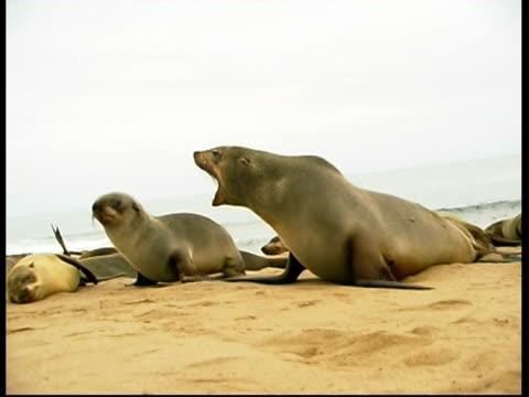 vídeos y material grabado en eventos de stock de ms low angle, cape fur seal mother roaring at pup, pup walks to camera, namibia - foca peluda