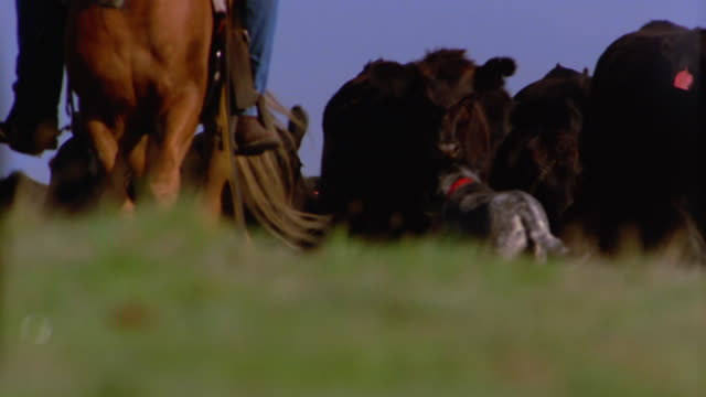 low angle close up cowboy on horseback, dog and herd of cattle walking toward cam - cattle stock videos & royalty-free footage