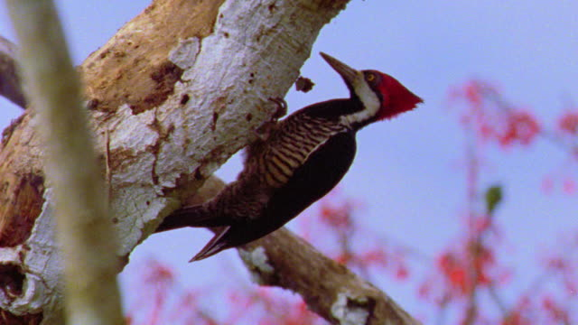 low angle close up crimson crested woodpecker hitting tree with beak in rainforest / manu, peru - woodpecker stock videos & royalty-free footage
