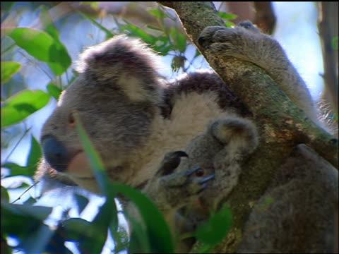 low angle close up koala bear + baby koala sitting in tree looking around / australia - beuteltier stock-videos und b-roll-filmmaterial
