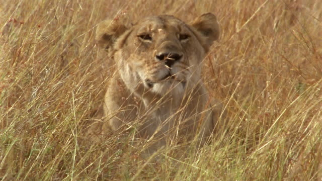 vídeos de stock, filmes e b-roll de low angle close up lioness lying down in tall grass / africa - camuflagem
