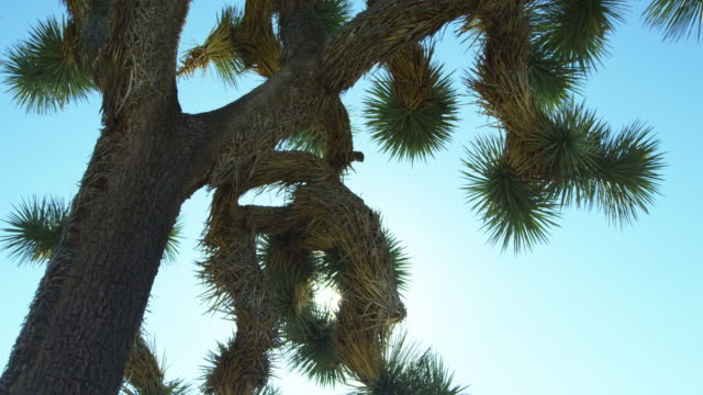 low angle, close up of joshua tree - josuabaum stock-videos und b-roll-filmmaterial