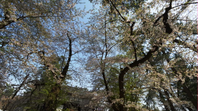 low angle, colorful cherry blossoms in hirosaki - satoyama scenery stock videos and b-roll footage