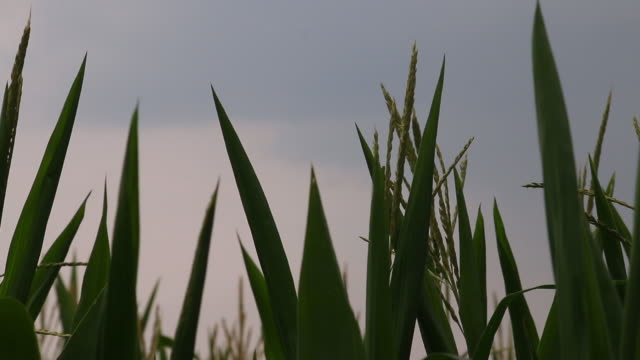 low angle corn stalks - plant stem stock videos & royalty-free footage
