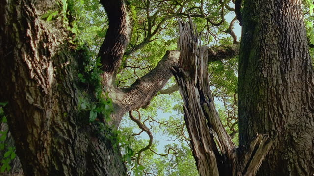 low angle crane shot leaves and twisted branches on tree - crane shot video stock e b–roll