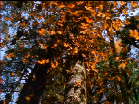 low angle crowd of monarch butterflies on tree trunk / they take off toward camera