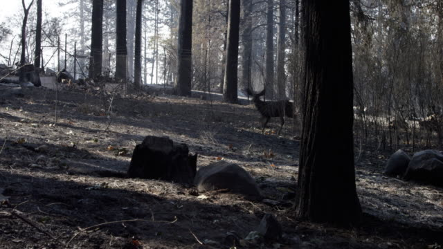 vídeos de stock, filmes e b-roll de low angle, deer in wildfire rubble - destruição