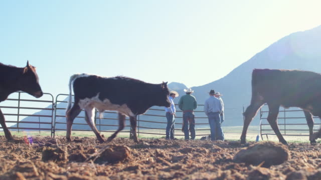 low angle early morning ranchers and cattle - animal pen stock videos & royalty-free footage
