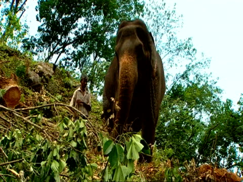 MS low angle, Elephant working, being encouraged down hillside by man