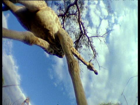 Low angle fisheye shot of giraffe walking over camera