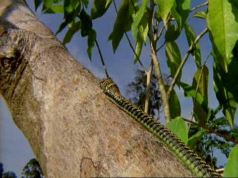 ms low angle, flying snake slithers up trunk, against sunlight and blue sky, malaysia - snake stock videos & royalty-free footage