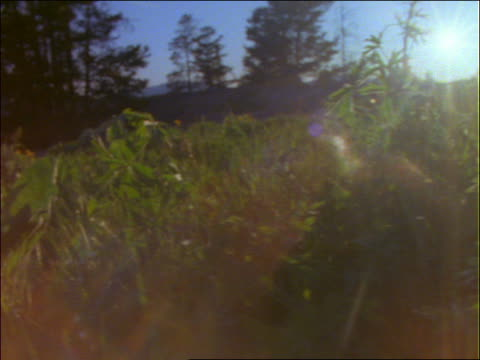 low angle pan from sunflowers to wildflowers / trees in background - pinacee video stock e b–roll