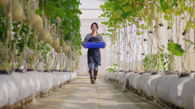 ビーガンと健康的な食事のための販売に農業農場の中小企業として温室のハイテク農場でメロンを収穫するために果物農場を歩くプラスチックバスケットを持つアジアの女性若い農家の低角� - グリーンハウス点の映像素材/bロール