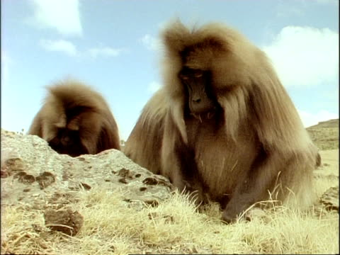 MCU low angle, Gelada baboons foraging and eating in grass, Ethiopia, Africa