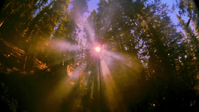 vídeos de stock, filmes e b-roll de fisheye low angle god rays shining through misty pine tree forest / aspen, colorado - film available - pinaceae